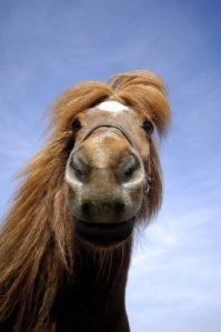 3090206-wide-angle-shot-of-horse-face-the-horse-is-looking-very-curious-at-the-camera
